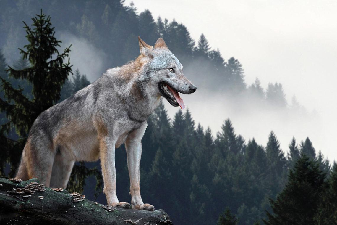 Rodzic jak wilk