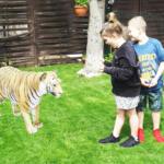 Tiger w Google